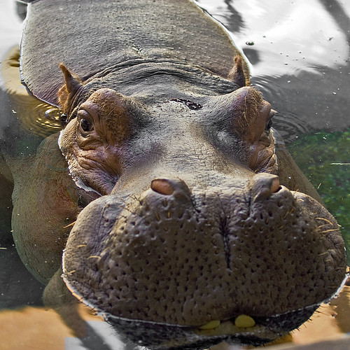 Happy the Hippo!