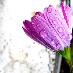 catching raindrops (gorgeoux) Tags: uk pink flower green london wet water rain droplets petals drops purple african balcony magenta violet lilac daisy mauve squared potted osteospermum