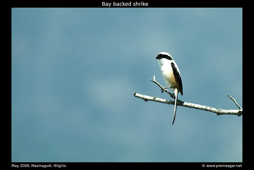 Bay backed shrike 1