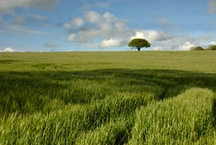 The Barley Field ripens (Mark Twells) Tags: green field barley shropshire grain harvest thattree