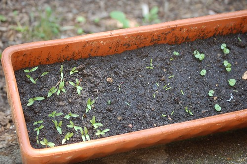 the herb seeds are finally sprouting