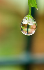 Rain Drop (motorsportimagesbyghp) Tags: flower macro reflection rain closeup canon garden eos kitlens drop cubism extensiontubes bej 400d