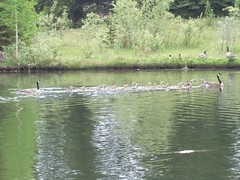 Family of Canada Geese (raise my voice) Tags: park canada nature geese edmonton goose hawrelak