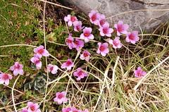Le fioriture dei monti Sibillini - sassifraga oppostifolia