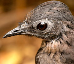 Male Superb Lyrebird (ianmichaelthomas) Tags: friends birds healesvillesanctuary doves birdwatcher smorgasbord royalmelbournezoo animaladdiction goldenmix australiannativebirds wildlifeofaustralia fruitdoves worldofanimals auselite naturewatcher wonderfulworldmix healesvillevictoriaaustralia vosplusbellesphotos rosecrownedfruitdoves