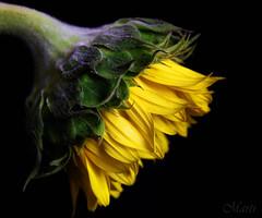 Sunflower on a Hot Afternoon (FLPhotonut) Tags: flower yellow sunflower canon50d flphotonut
