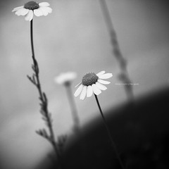 We're flowers (staRdixa) Tags: flowers blackandwhite bw flores primavera blancoynegro fleurs sadness spring bn mysterious manzanilla blancetnoir camomille