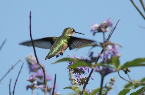 Ruby-throated Hummingbird - 5/29/2009