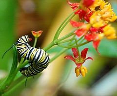 Monarch Caterpillars are devouring the wet flowers and stems of the Yellow and Red Milkweed I planted for them... Butterflies are on the way! (jungle mama) Tags: red wet yellow butterfly monarch milkweed chrysalis soe pupa antennae cocoon monarchcaterpillar monarchbutterfly nymphalidae commonmilkweed asclepiassyriaca danausplexippus danainae monarchsmating monarchlifecycle coth milkweedbutterfly supershot bej milkweedbutterflies abigfave rubyphotographer flickrbestpics monarchlarvae vosplusbellesphotos ubej dragondaggeraward susanfordcollins beyondbokeh magicunicornverybest livinginajungle lifecyclemonarchbutterfly biscayneparkflorida whiteflowersontrunk