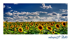 Napraforg mez - Sunflower field - das Sonnenblumenfeld (VIEW ON BLACK PLS) (m6sport) Tags: blue sunset sky cloud sun plant green me field yellow grey photo hungary die sonnenuntergang desert cloudy pflanze feld wolke grau vegetable gelb sunflower land vegetation das grn blau der score sonne ungarn hdr g felh vegetal clouded sonnenblume sonnenschein ungheria magyarorszg hungra hongarije hongrie puszta bedeckt hwngari ungern wgry fld maarsko gbolt unkari maarska colorphotoaward colourartaward m6sport m6photocom
