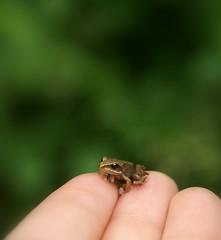 green little friend (FriaLOve) Tags: macro cute green finland friend dof little bokeh sony small fingers frog tiny a300 ruovesi frialove