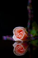 Broken But Beautiful (michaeljosh) Tags: flower reflection broken rose beads bokeh peachrose onblack nikkor50mmf14 project365 explored nikond90 bokehbeads