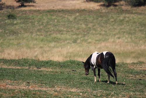 Paint horse mulling life