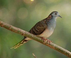 Bar-shouldered Dove (daKing pics) Tags: australianbirds cararra queenslandaustralia barshouldereddove geopeliahumeralis sigma150500