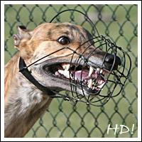 FCI-Windhund-EM 2009 - Favorit: Asgard's Earl Affair, Greyhound