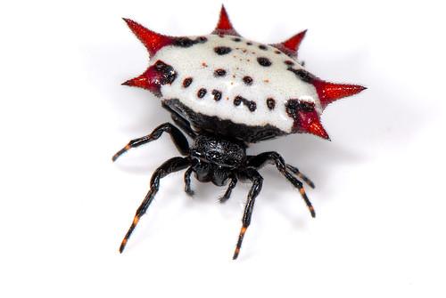 Gasteracantha cancriformis - spiny backed orbweaver