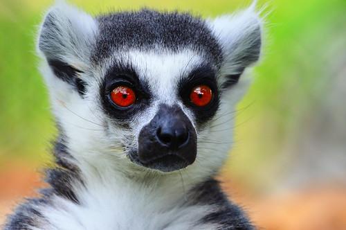 フリー画像| 動物写真| 哺乳類| 猿/サル| ワオキツネザル|       フリー素材|