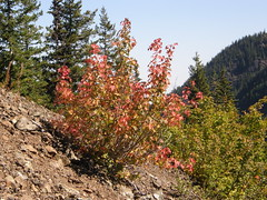 Some fall color on Marmot Pass trail near point of entering woods for good on way down.