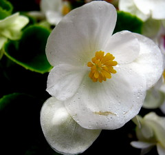 weiße Begonie (© the-best-is-yet-to-come ©) Tags: bej anawesomeshot estremità flowersarebeautiful mostbeautifulpictures