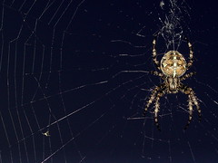 Spider Poised in Web (tumultuouswoman) Tags: county light shadow hairy macro halloween nature night composition contrast bug insect photography spider big scary eyes legs massachusetts web september photograph disturbing berkshire potofgold pinchers anachrid