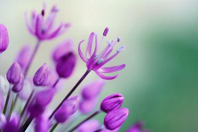 flower 2455 R