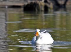 White Mallard (mybulldog) Tags: nature water birds duck nikon wildlife feathers sigma delta mallard waterfowl reifel lowermainland reifelbirdsanctuary d90 120400 nikond90 sigma120400 d90nikon
