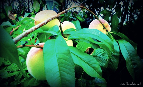 loaded peach tree