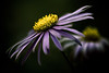 tired as all hell (harold.lloyd) Tags: purple bokeh yawn aster 50mmf14 gfm fgm sbf hsbf anotheryawn alongtime fflt kthxbai 100mmf28usm astery hnff sadbokehfriday soyf daisery alsoinowhaveenoughphotomographstolastforalongtime ohyesmustaddtothatset heh50mmaymaywanttocheckyourexifboy iremainunstomped thoughmytoegotsteppedonbyaccident