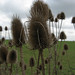 Photo: Dipsacus fullonum (sylv.)