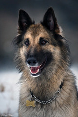 Mona (Kerli'sPhotography) Tags: winter portrait dog beautiful belgianshepherd dogportrait sessioon