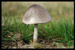 14315 mushroom (mikek666) Tags: mushroom berg hill breconbeacons hills cogumelo colina montaña seta montagna montanha mantar muntanya bryn hongo collina paddestoel pilz fong dağ fungo turó bryniau bolet onddo βουνό μανιτάρι λόφοσ планински μύκητασ μύκησ