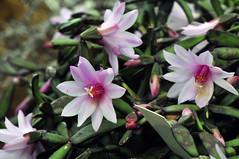 Rhipsalidopsis rosea (Michael Döring) Tags: bochum d300 botanischergarten querenburg ruhruniversitätbochum rhipsalidopsisrosea michaeldöring afs105microg