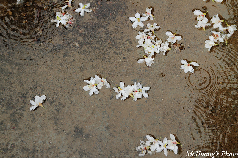 雨.油桐花
