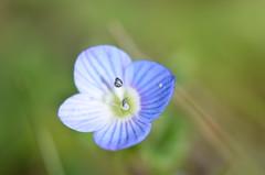 Blue days in the garden (dfromonteil) Tags: blue bleu flower fleur nature plant plante green vert colors couleurs macro bokeh light lumière