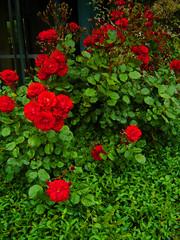 Violet Violence (sid.snell) Tags: school red roses plants plant green church nature crimson grave rose contrast yard hospital garden death bush sad bright vibrant sid mother violet violence satin brilliant hdr planting snell