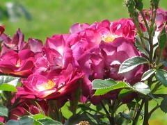 rose buds (massimiliano guido) Tags: rose rosebuds massimilianoguido