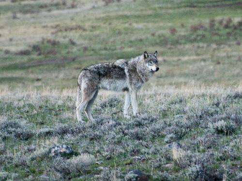 Gray Wolf at Dusk