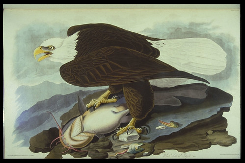 Birds of America by John James Audubon London: 1827-38 Sp Coll Hunterian Cd.1.1-4