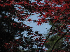 Red Japanese maple (Jimmy Coupe) Tags: county flowers green colors garden pretty natural japanesemaple mendocino redwoods aprilshowersbringmayflowers japanesemapletree nomiraclegrow complimentarycolorsofnature