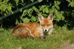 Urban fox in Hornchurch (dyvroeth) Tags: uk hornchurch redfox vulpesvulpes londonboroughofhavering