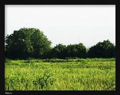 ●ای دیار خوب من (Nikar`๑´-) Tags: blue sky white tree green iran iranian ایران درخت سبز gorgan گرگان ordibehesht آسمان آبی nikar ایرانیان سفید اردیبهشت canong9 flickrlovers استانگلستان negarkiani نیکار نگارکیانی کانونجینه میرحسینموسوی محمدنوری ایدیارخوبمن ostangolestan میرمحسنکروبینژاد