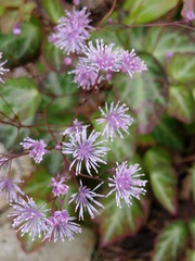 Thalictrum ichangense flower detail