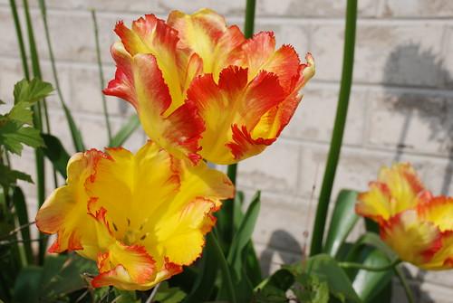 Tulipa Texas Gold (Parrot)