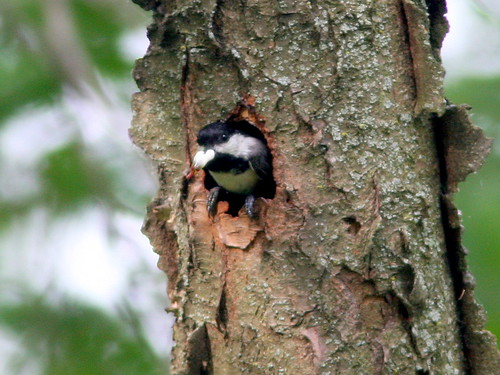 Chickadee With Fecal Sac 20090606