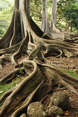 "Giant Fig Tree Roots, 1 of 3 (IronRodArt - Royce Bair (""Star Shooter"")) Tags: tree scale nature giant bay branch fig roots large fork system foundation ficus growth anchor huge trunk network banyan branching moreton macrophylla"