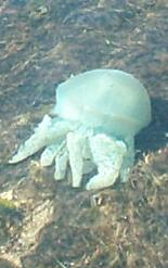 20040109_JELLY_FISH