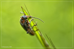 At the Top (Thomaniac) Tags: macro closeup fauna canon bug insect eos natur nahaufnahme kfer efs60mmmacro 450d thomaniac