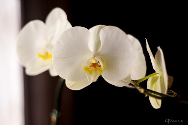 orquídea_4