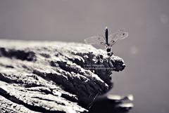 waiting on a log (simis) Tags: light shadow blackandwhite nature log dragonfly bokeh web zilker austintx quadtone fromarchives bokehcircles