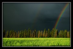 Rainbow's End (westrock-bob) Tags: county trees sky canada storm black field barley pine canon photography gold golden three photo intense rainbow image pics wheat grain picture dramatic july bob ab pic deer hills pot evergreen photograph alberta end lightning rainbows spruce 2009 thunder allrightsreserved westrock kanada kanata potofgold cuthill aplusphoto s5is canons5is platinumheartaward kneehill westrockbob vosplusbellesphotos bobcuthillphotographygmailcom mygearandmepremium mygearandmebronze bobcuthill